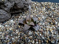 Haworthia 'Moulin Rouge'