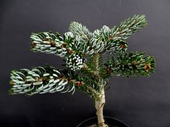 Abies koreana 'Ice Breacer'
