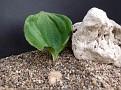 Eriospermum brevipes