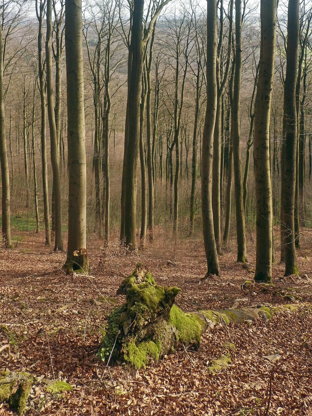 Buchenwald Hohenstein