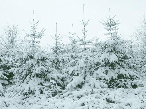 Weihnachsbäume im April