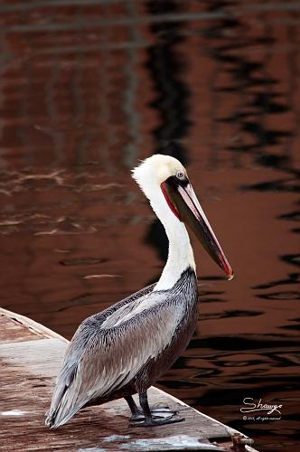 Brown Pelican (Pelecanus occidentalis ) 0981