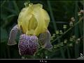 Iris sp.