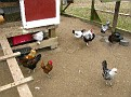 Chicken Coup Visit...