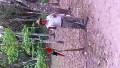 Our Copan Ruins Guide, Rodolfo, feeding wild Scarlet Macaws...
