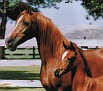 AMBER BASK #54451 (*Bask++ x Ankara, by Ankar) 1969 chestnut mare bred by the Mekeel family; produced 14 registered purebreds