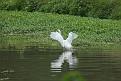 Great Egret #8