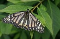 Nivosus (White) Monarch Butterfly #3