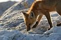 June Red Fox Series #17