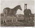 FAYADAN #970 (Antez x Sadih, by Sargon) 1933 chestnut filly & GAYZA #969 (Bazleyd x Gulnare, by *Rodan) 1933 grey filly; both bred by Travelers Rest/ Gen JM Dickinson