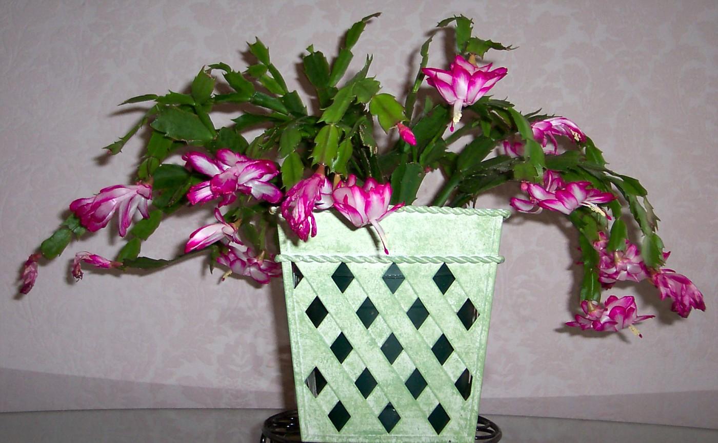 christmas cactus 100 6708