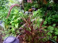 fountain grass IMGP4382