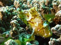 Yellow Leaf fish