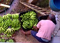 uncle Solomon readying bananas (also called figs) for markets