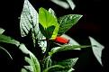 cigar plant