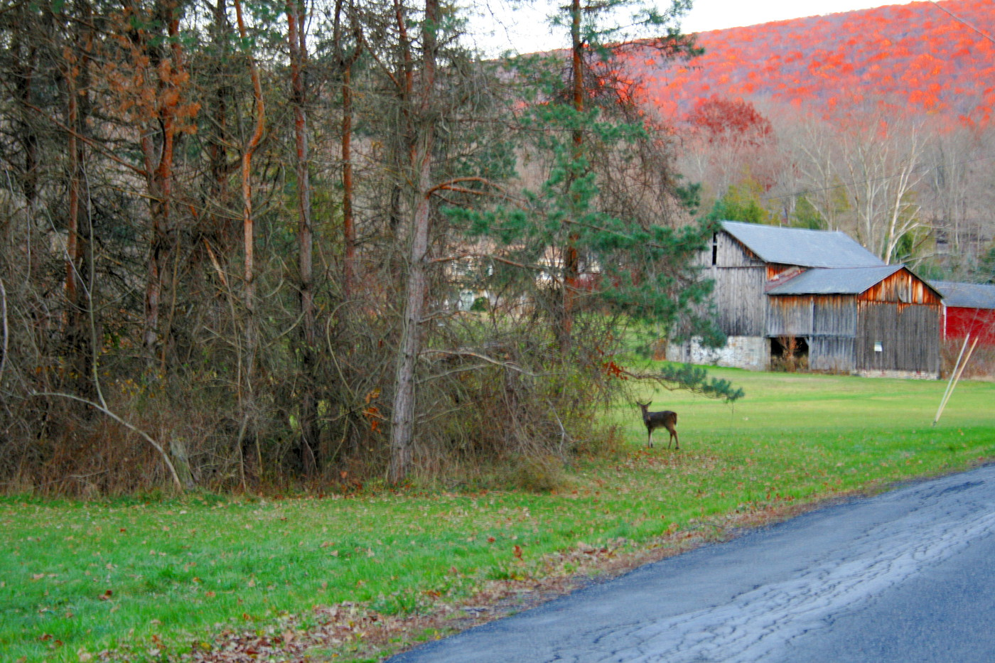 Deer, Woods and a Pennsylvania Barn