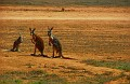 Kangaroos on the Nullabor