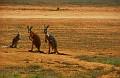 Kangaroos on the Nullabor