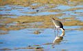 Plover in the Wynnum wading pool 004