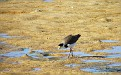 Plover in the Wynnum wading pool 007