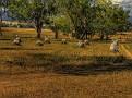 Hay Stooks 002