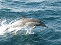 common dolphin 1