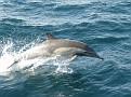common dolphin 1
