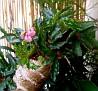 Begonia carolineifolia (6)