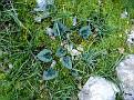 Cyclamen graecum (17)-001