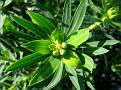 Euphorbia dendroides (1)