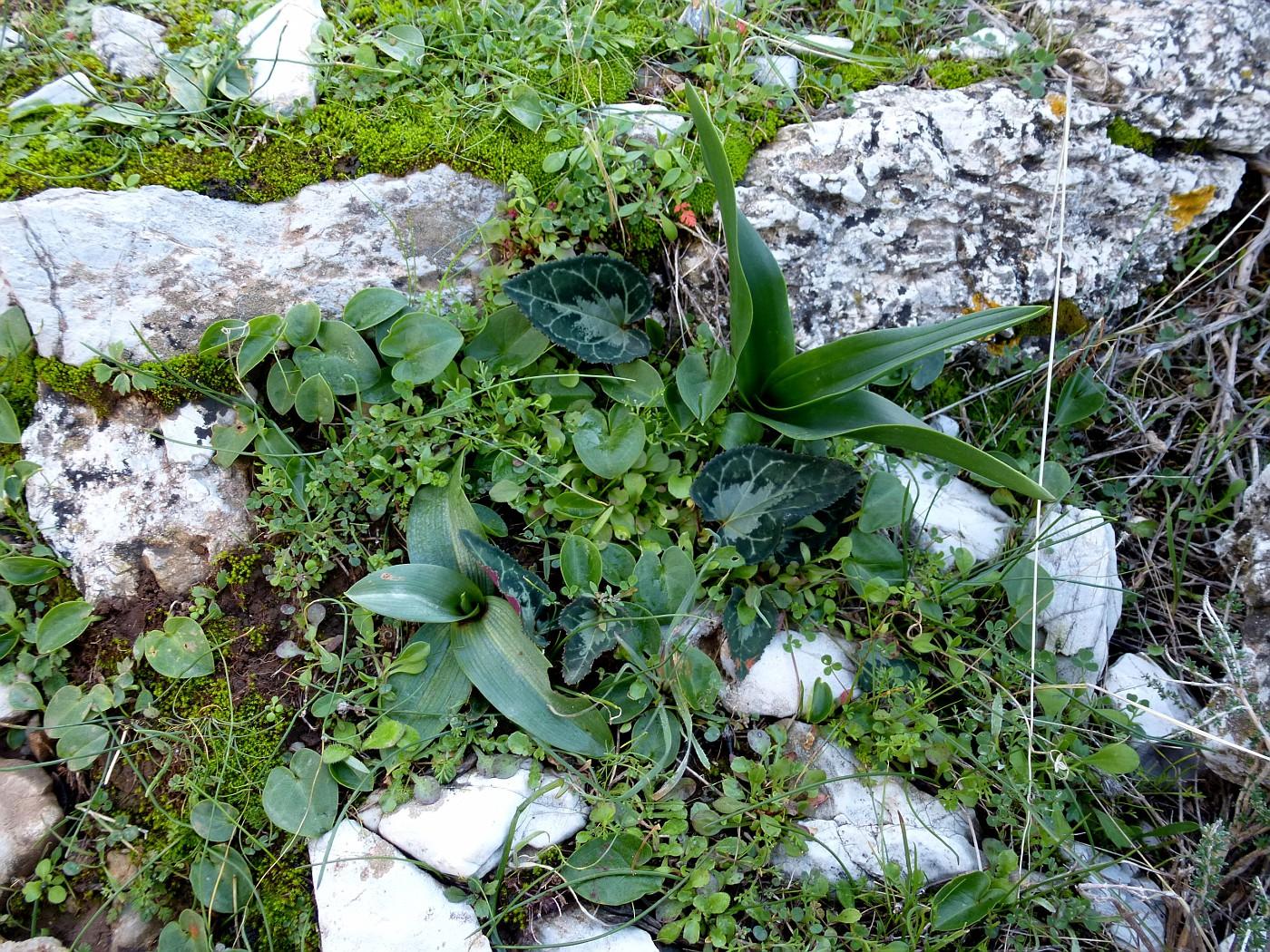 Arisarum, Ophrys, Urginea, Cyclamen