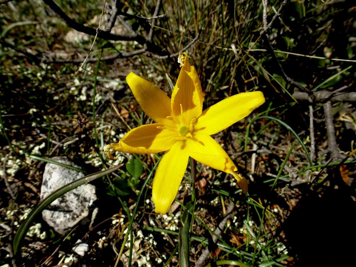 Tulipa australis (42)