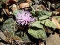 Centaurea aegialophila troodos (4)