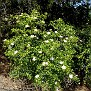 Rosa micrantha subsp  chionistrae (12)