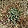 Euphorbia veneris   (7)