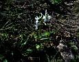 Dactylorhiza romana (11)