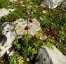 ophrys hybrid ferrum x mamosa ή ferrum x aesculapii (2)