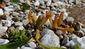 Mesembryanthemum nodiflorum, Ακρόπολη Αθηνών (14)