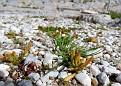 Mesembryanthemum nodiflorum, Ακρόπολη Αθηνών (46)