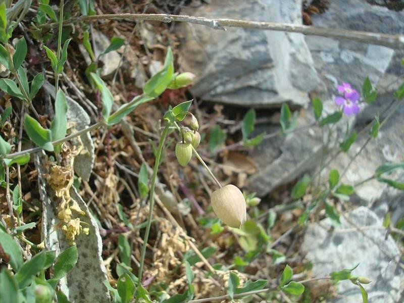 Silene vulgaris megalosperma (3)