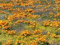 Poppy Reserve2008 022.jpg