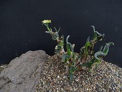 Mitrophyllum clivorum fa. nana