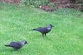 Corvus monedula the Kauw in Holland