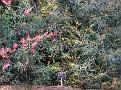 Brisbane Botanic Gardens 022 Grevillea Strawberry Blonde