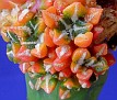 Ariocarpus kotchoubeyanus variegata (8)