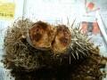 Pachypodium ambongense 003