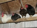 Chickens at roost for the night.