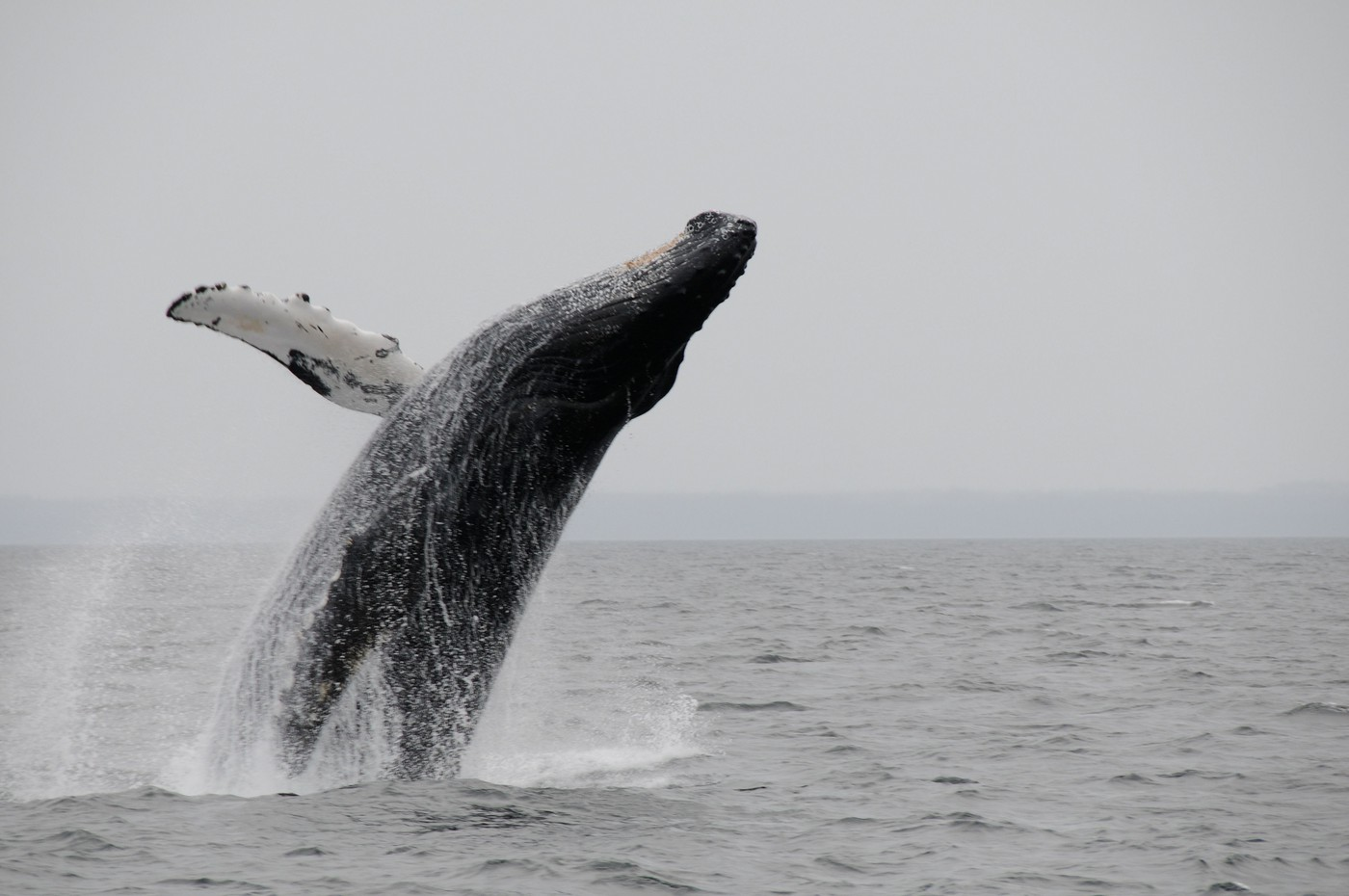 Leaping humpback at Point Adolphous