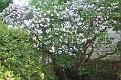 A beautiful tree in full bloom.