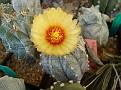 Astrophytum cv. ' Hakugan ' variegata